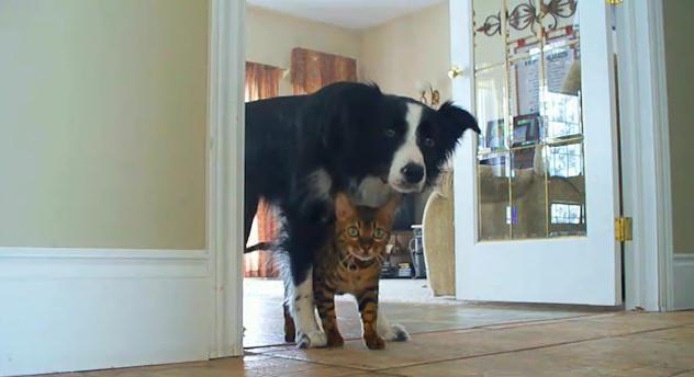 border collie y gato