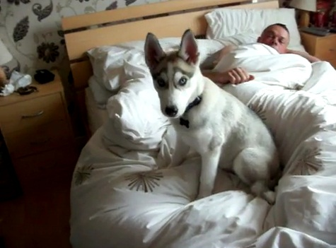 Un husky despertando a su familiar