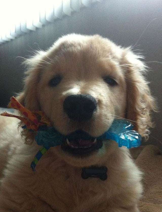 cachorro-ciego-golden-retriever