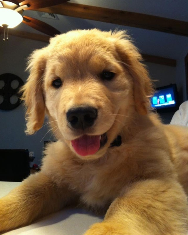 golden-retriever-ciego
