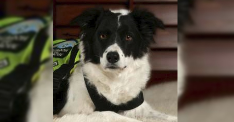 border collie se retira despues nueve anos