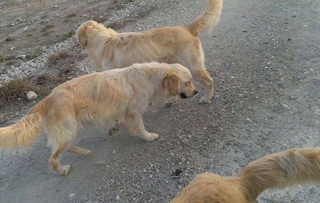 abandona-golden-retrievers-lorca