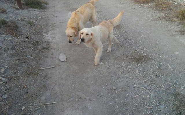 golden-retrievers-abandonados-lorca