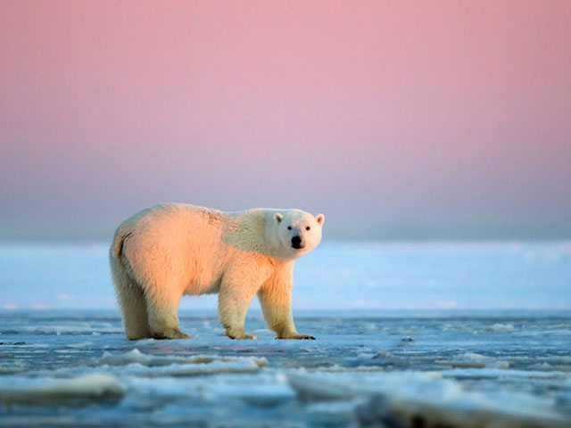 oso-polar-Arctic-National-Wildlife-Refuge