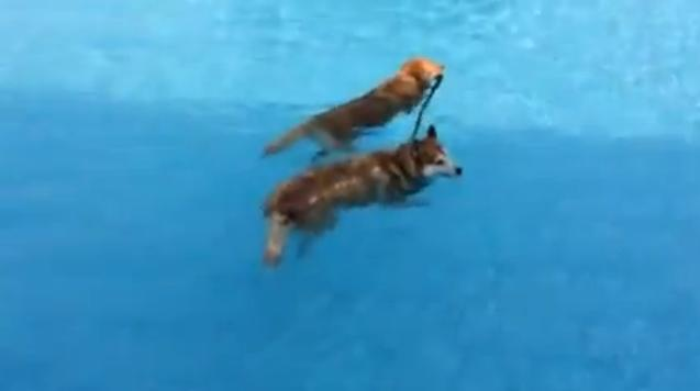 golden retriever salva husky piscina