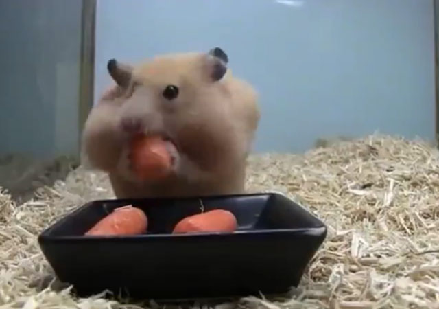 hamster-come-cinco-zanahorias