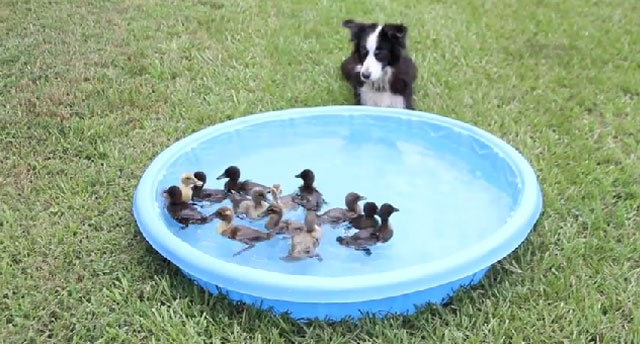 perro-border-collie-y-patitos-piscina