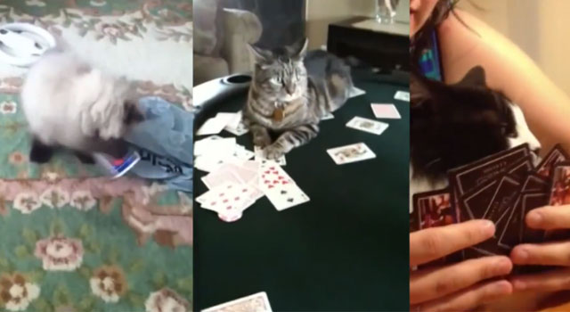 recopilacion-videos-gatos-jugando-cartas