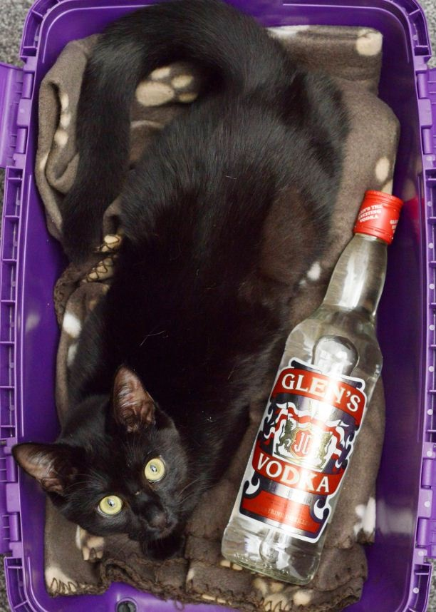gato salvado con una botella de vodka