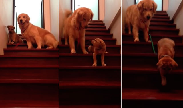 golden-retriever-japan-ensena-cachorro-bajar-escaleras