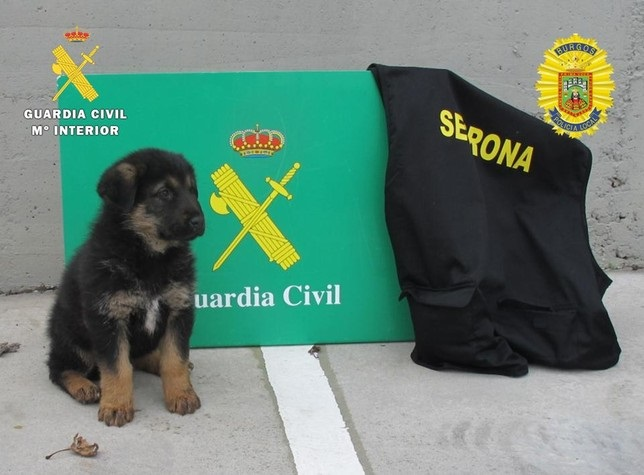guardia civil incauta perros burgos