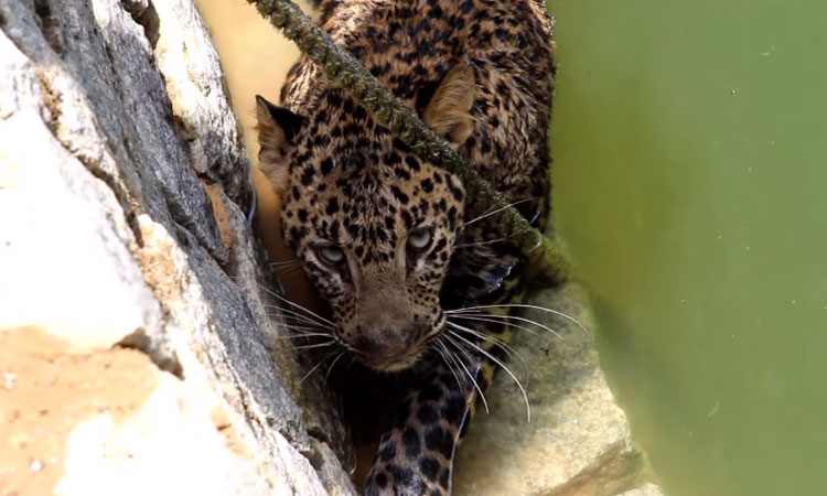 video-rescate-leopardo-pozo