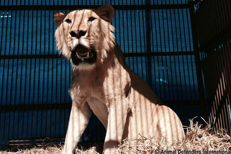 Animal-Defenders-International-rescata-33-leones-circos