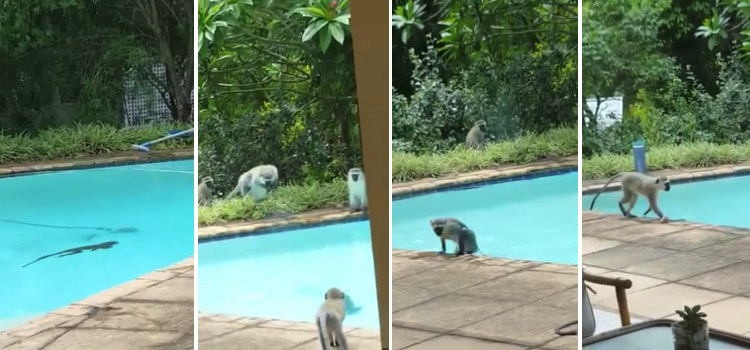 Monos fiesta piscina video