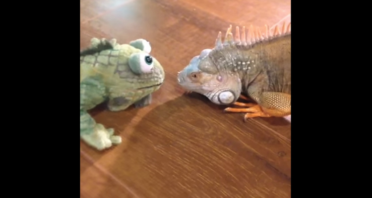 Vídeo reaccion iguana ve peluche