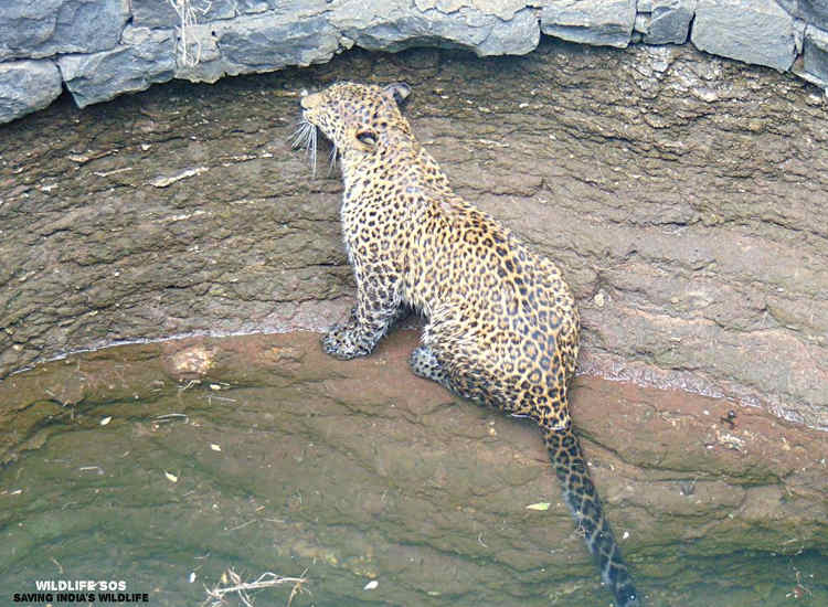 Video rescate leopardo pozo India