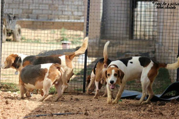 156 beagles liberados india