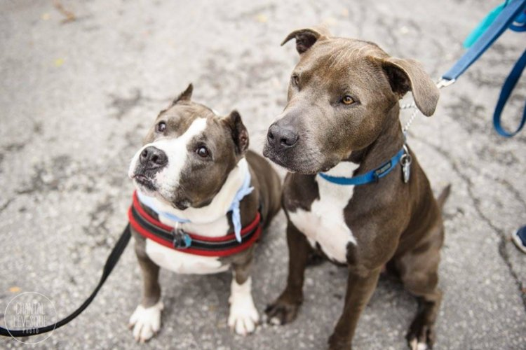 pit-bulls-montreal-canada
