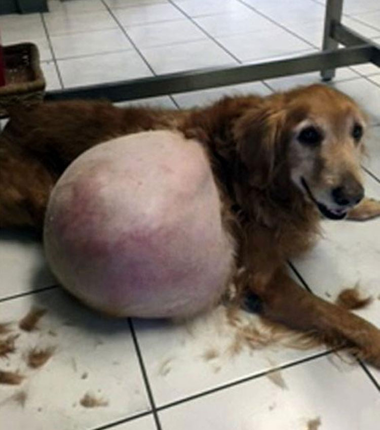 golden retriever con tumor abandonado en la playa