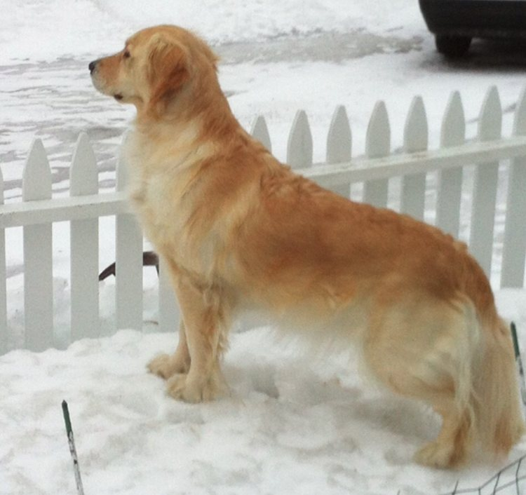 golden retriever kelsey