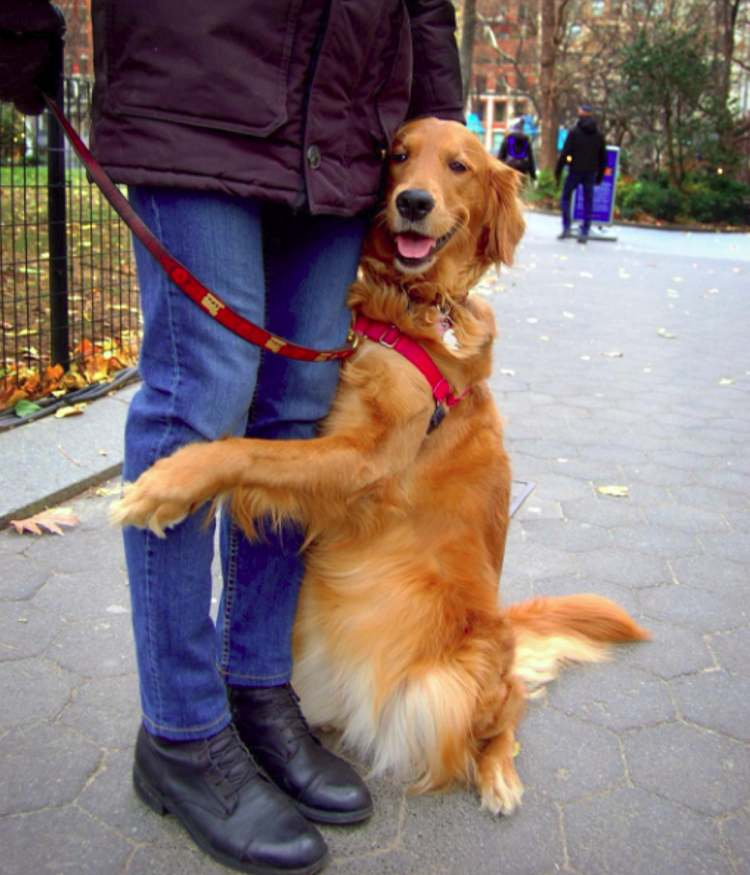 perro golden retriever abraza gente