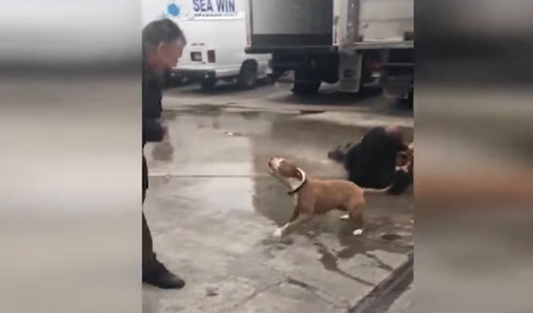 video ataque tres pit bulls los angeles