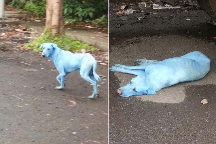 perros de color azul nadar rio contaminado india