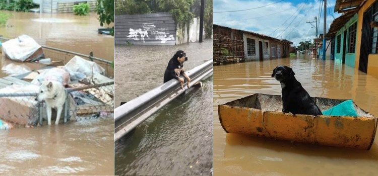 perros rescatados por guardians of rescue huracan harvey