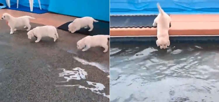 video ocho cachorros golden retriever baño piscina