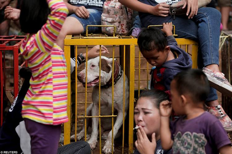 video pelea de perros contra jabalies indonesia