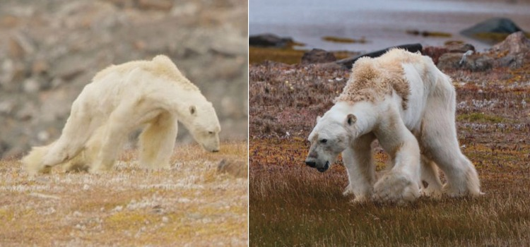 national geographic oso polar desnutrido canada