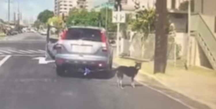video perro arrastrado atado coche honolulu Hawaii