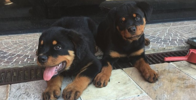 cachorros rottweiler apolo y angel