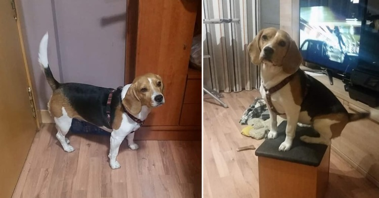perra beagle perdida vallecas madrid encontrada