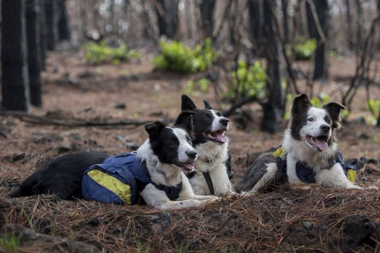 perros border collie reforestan bosques chile