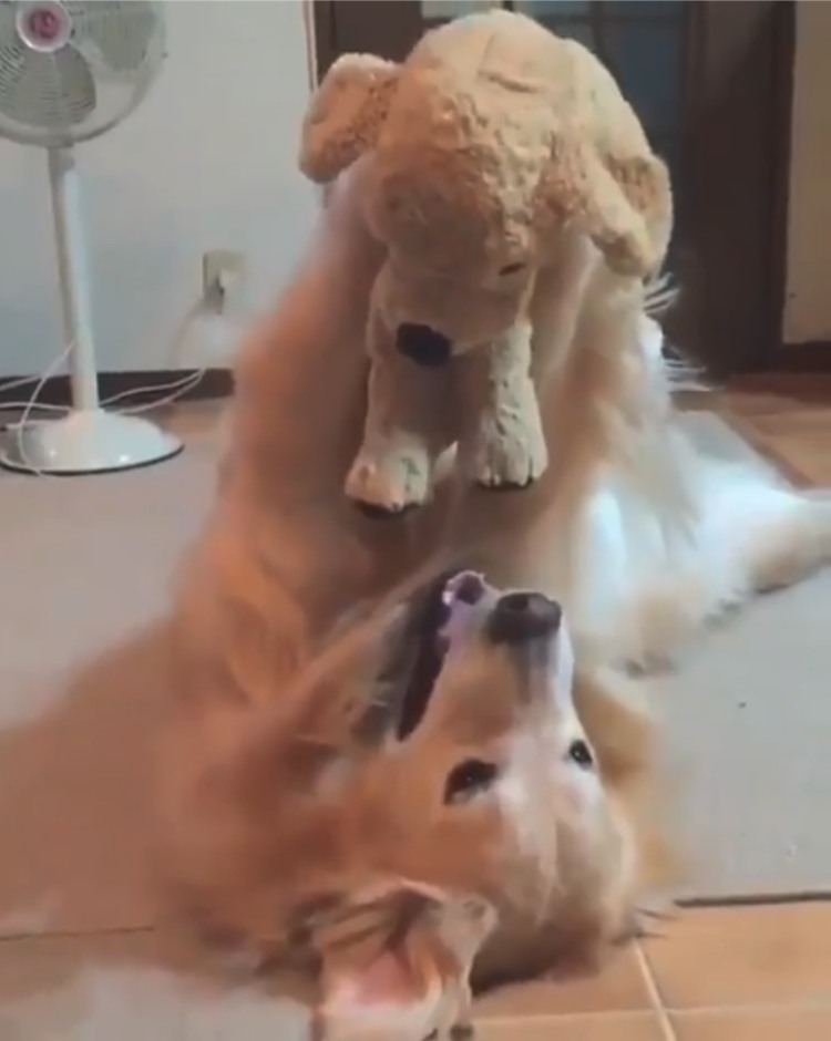 perro golden retriever abraza oso peluche