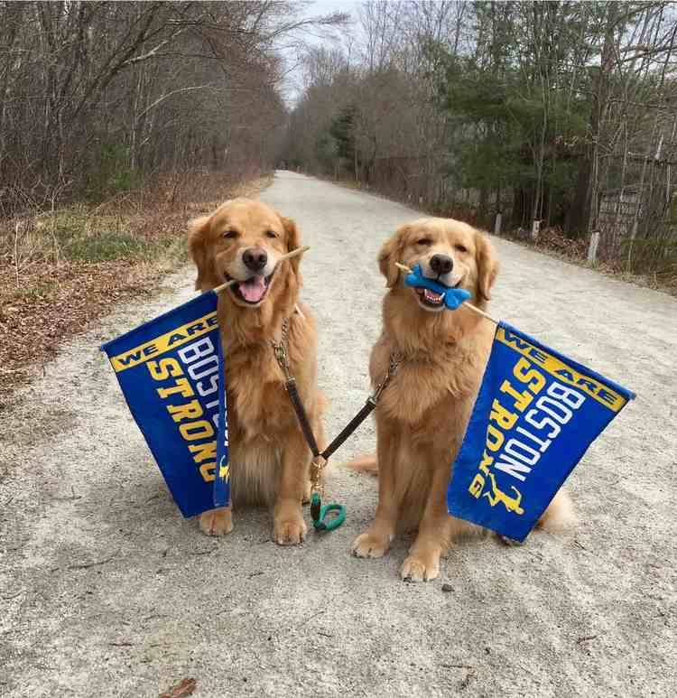 perro golden retriever anima maraton boston