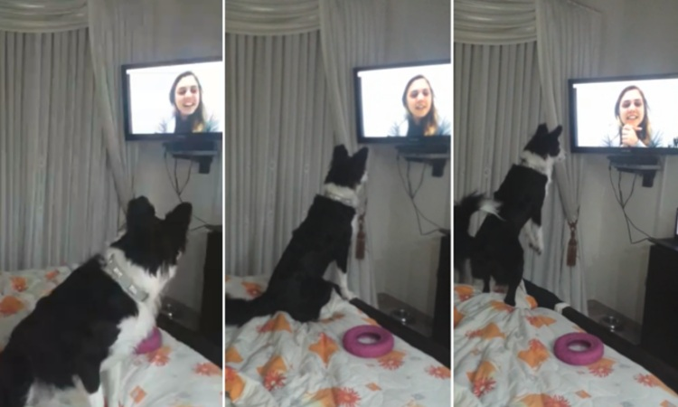 reaccion perra border collie al ver duena videollamada