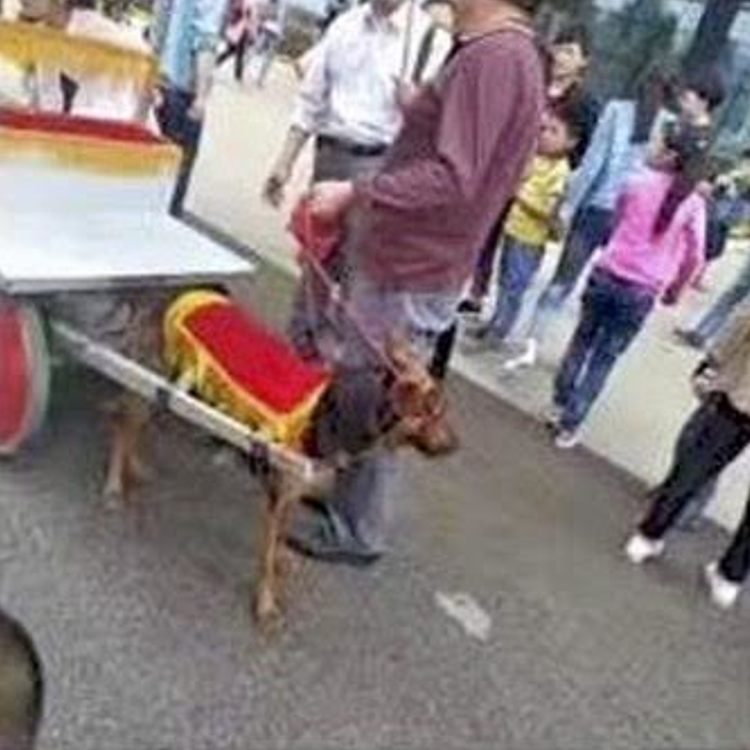 perros obligados tirar carruajes china