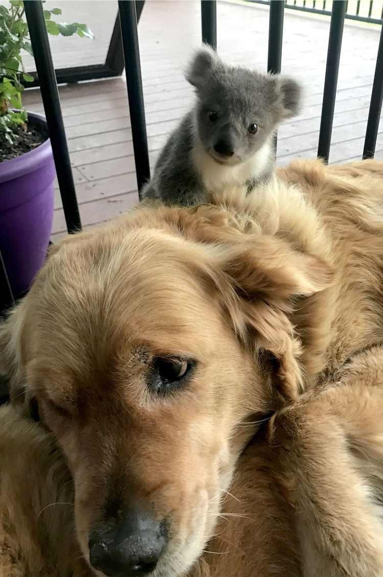 golden retriever y koala