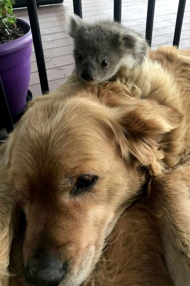 perro golden retriever y koala