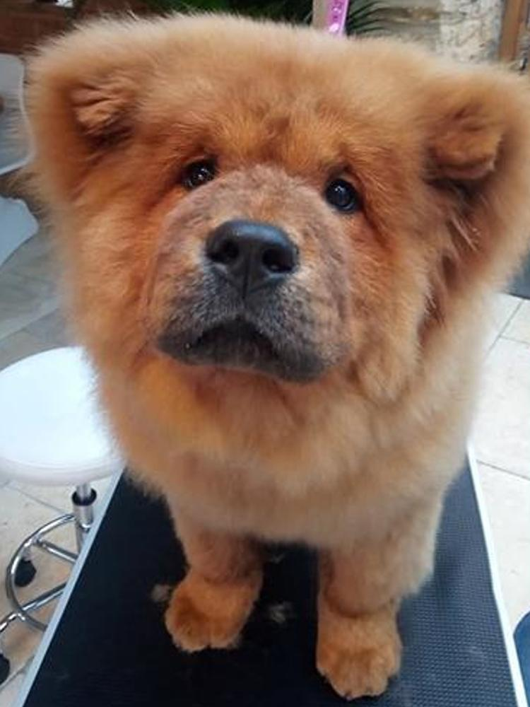 bungle chow chow