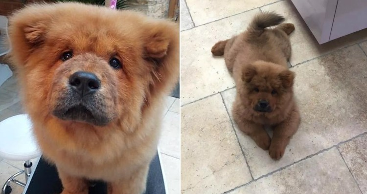 chow chow bungle
